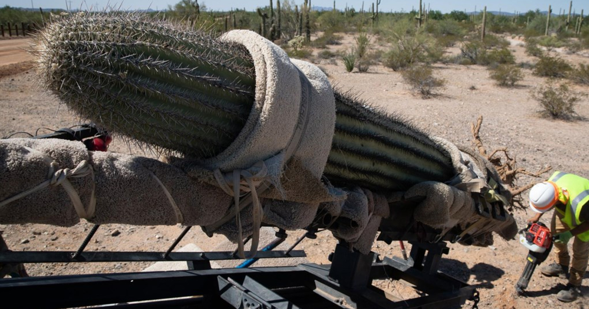 Workers prepare to relocate a saguaro cactus at Organ Pipe National Monument.